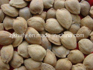 Sweet Almond in Shell (longwangmao 19-22mm)
