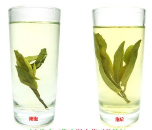 big-leaf bitter tea(Kuding tea)