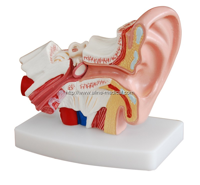 Desktop Ear Model