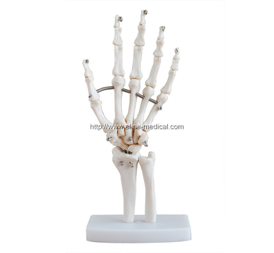 Life-Size Hand Joint